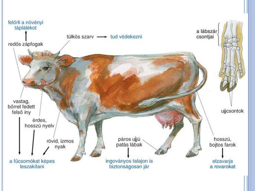 a látószervek hiánya a szarvasmarha galandférgében