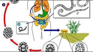 Helminták piros kaviárban. Platyhelminthes 2. munkalap cestoda
