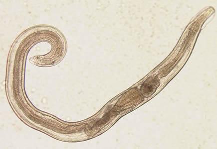 a pinwormok enterobiasis fejlődési ciklusa)