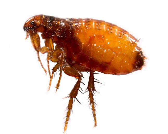 külső paraziták élnek a test felszínén)