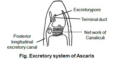 Az Ascaris spicules)