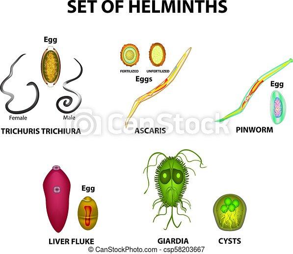Pinworm vagy ascaris