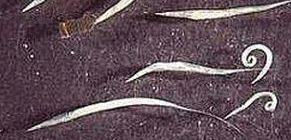 pinworm féreg kerek