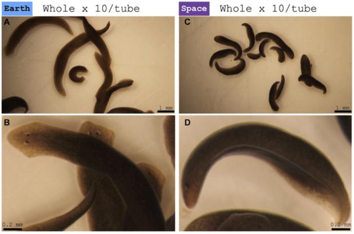 Pinworm férgek, Pinworms fejlesztési ciklus