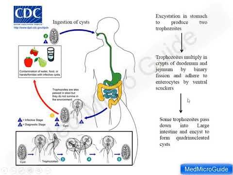 Giardiasis ascariasis opisthorchiasis Opisthorchiasis tünetek a kezelés után