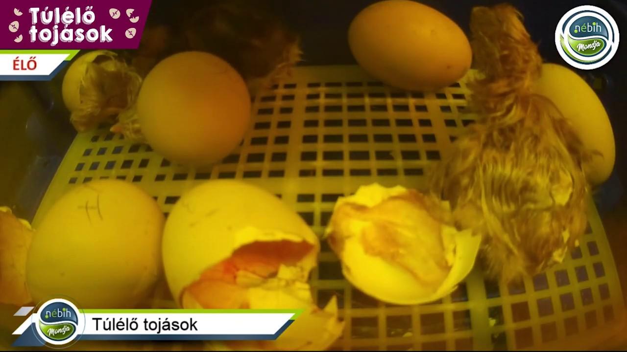 Féreg tojás formák - A körömféreg-parazita kezelése