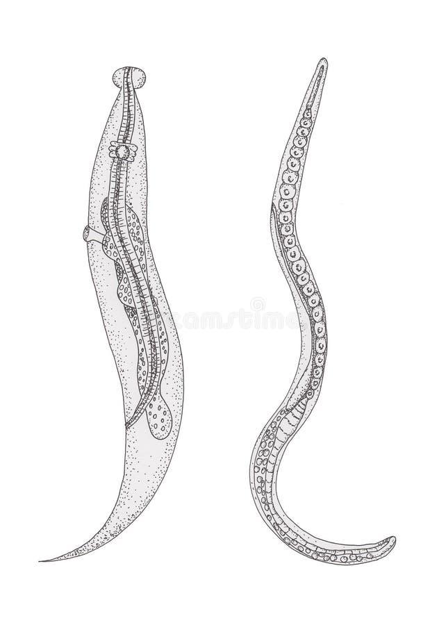 Pinworm hasmenés. Ostorféreg-fertőzés – Wikipédia