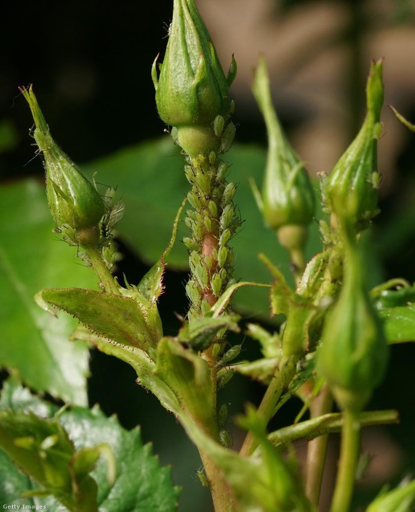 levéltetű és parazitaellenes szer a betegség neve galandféreg